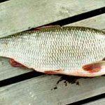 Особенности рыбы язь и отличия от голавля с примерами (фото)