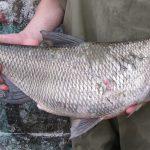 Изображение - Особенности рыбы язь и отличия от голавля с примерами (фото) proxy?url=http%3A%2F%2F34fish.ru%2Fwp-content%2Fuploads%2F2017%2F10%2Fryba_yaz_26_14100804-150x150