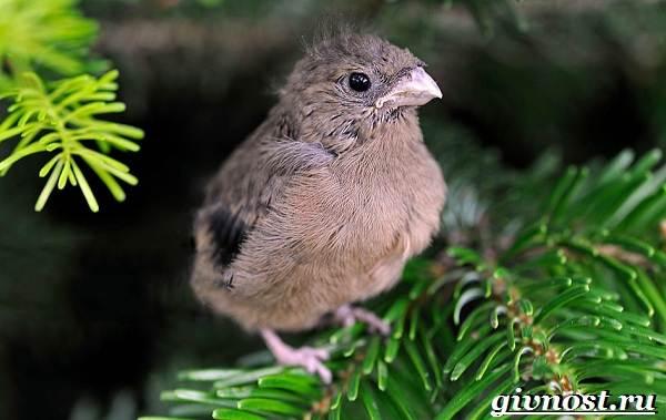 Изображение - Снегирь внешний вид птиц и их род, перелётные они или оседлые proxy?url=http%3A%2F%2Fgivnost.ru%2Fwp-content%2Fuploads%2F2017%2F09%2Fsnegir-ptica-obraz-zhizni-i-sreda-obitaniya-snegirya-9