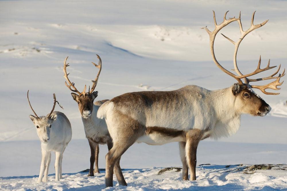 Изображение - Северный олень описание вида и фото proxy?url=http%3A%2F%2Fhuntland.ru%2Fwp-content%2Fuploads%2F2018%2F11%2Fseverniy_olen11