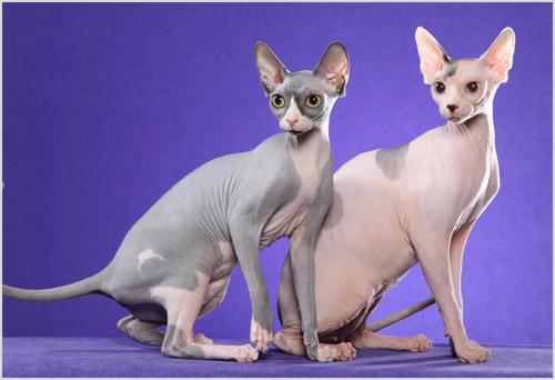 Изображение - Порода кошек сфинкс proxy?url=http%3A%2F%2Fkoshkimau.ru%2Fwp-content%2Fuploads%2F2017%2F02%2Fsfinks-koshka-1
