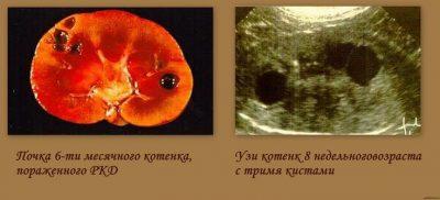 Изображение - Болезни почек у кошек симптомы и лечение proxy?url=http%3A%2F%2Fkot-i-koshka.ru%2Fwp-content%2Fuploads%2F2017%2F10%2Fc19e02176b7cb86ef9dcc2281f4c28a9-400x182