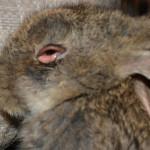Изображение - Можно ли есть кролика с миксоматозом proxy?url=http%3A%2F%2Fkroliki-prosto.ru%2Fwp-content%2Fuploads%2F2015%2F02%2F51-150x150