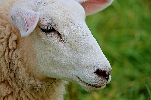 Изображение - К чему снятся овцы proxy?url=http%3A%2F%2Fladyelena.ru%2Fwp-content%2Fuploads%2F2015%2F02%2Fk-chemu-snitsya-ovca-1