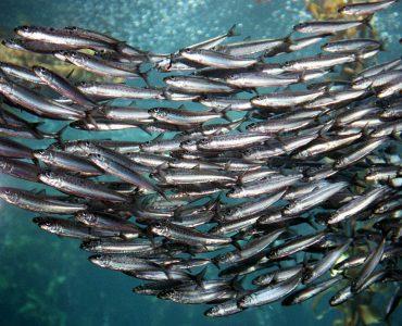 Изображение - Сниться много рыбок proxy?url=http%3A%2F%2Fmy-rasskazhem.ru%2Fwp-content%2Fuploads%2F2017%2F09%2Fstaya-sardin-370x300