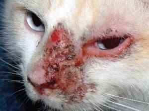 Изображение - Дерматит у кошек причины и лечение proxy?url=http%3A%2F%2Fporodakoshki.ru%2Fwp-content%2Fuploads%2F2016%2F06%2F-%25D0%25B4%25D0%25B5%25D1%2580%25D0%25BC%25D0%25B0%25D1%2582%25D0%25B8%25D1%2582%25D0%25B0-%25D1%2583-%25D0%25BA%25D0%25BE%25D1%2588%25D0%25B5%25D0%25BA-e1466257469610