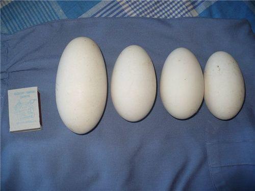Изображение - Инкубация гусиных яиц в домашних условиях - фото, видео proxy?url=http%3A%2F%2Fproinkubator.ru%2Fwp-content%2Fuploads%2F2014%2F08%2Fkak-vyvodit-gusyat_2