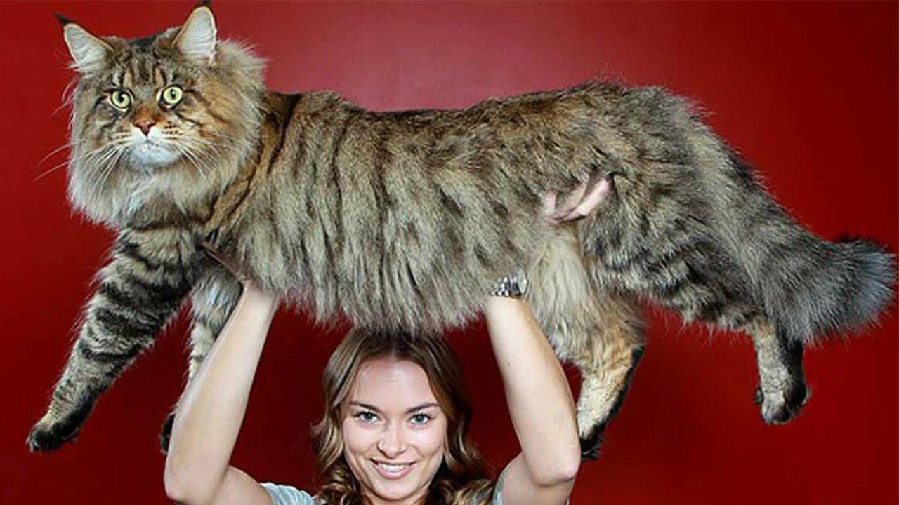 Изображение - Самая большая порода кошек в мире описание, фото, рейтинг proxy?url=http%3A%2F%2Ftop5-top10.ru%2Fwp-content%2Fuploads%2F2017%2F09%2F%25D0%259C%25D0%25B5%25D0%25B9%25D0%25BD-%25D0%25BA%25D1%2583%25D0%25BD
