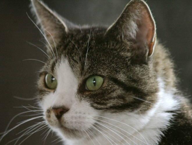 Изображение - Почему кот писает кровью proxy?url=http%3A%2F%2Fveterinargid.ru%2Fwp-content%2Fuploads%2F2016%2F11%2Fkot-pisaet-s-krovyu