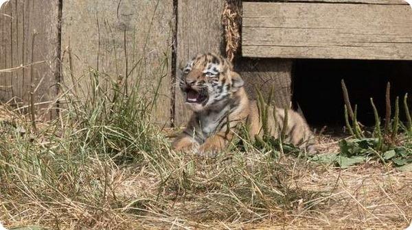 Изображение - Самка тигра редкого вида дала потомство в индонезийском зоопарке proxy?url=http%3A%2F%2Fwww.zoopicture.ru%2Fassets%2F2018%2F07%2F3_thumb-4