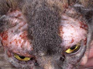 Изображение - Аллергия у кошек на корм симптомы и лечение proxy?url=http%3A%2F%2Fzoosecrets.ru%2Fwp-content%2Fuploads%2F2016%2F10%2Fgbotdfz-fkkthubz-yf-tkjr-vzcyjq-300x225