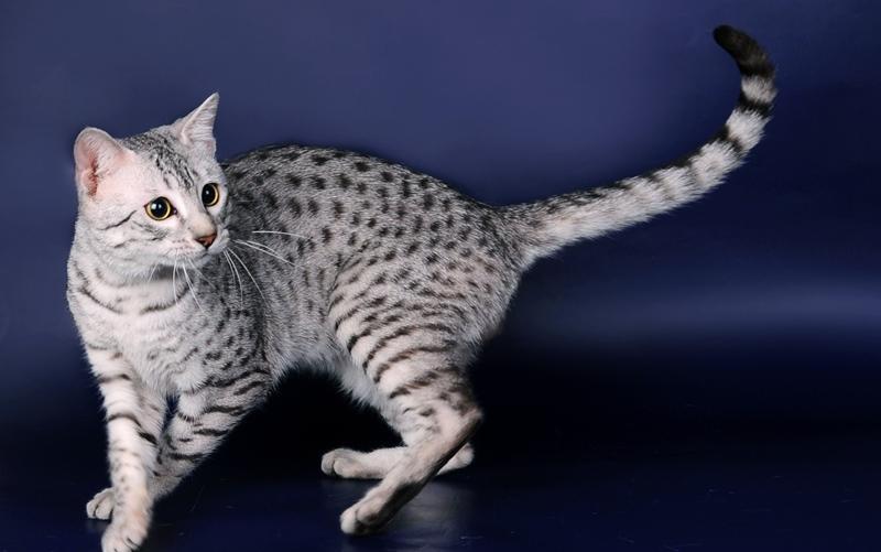 Изображение - Великолепная мау или кошки египта proxy?url=https%3A%2F%2F4lapki.com%2Fwp-content%2Fuploads%2F2017%2F01%2Fegyptian-mau10
