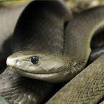 Изображение - Черная мамба – африканская змея-убийца proxy?url=https%3A%2F%2F4lapki.com%2Fwp-content%2Fuploads%2F2017%2F01%2Fshornai-mamda7-150x150
