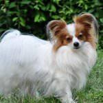 Изображение - Папильон — порода собак описание и фото proxy?url=https%3A%2F%2F4lapki.com%2Fwp-content%2Fuploads%2F2017%2F02%2Fpapilen-11-150x150