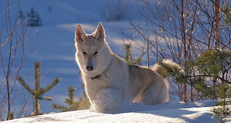 Изображение - Гибрид собаки и волка описание proxy?url=https%3A%2F%2F4lapki.com%2Fwp-content%2Fuploads%2F2017%2F02%2Fvjlkosob-11