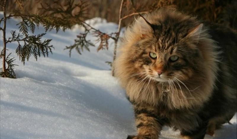 Изображение - Самая большая порода кошек в мире описание, фото, рейтинг proxy?url=https%3A%2F%2F4lapki.com%2Fwp-content%2Fuploads%2F2017%2F03%2Fnorv-lesnai-2