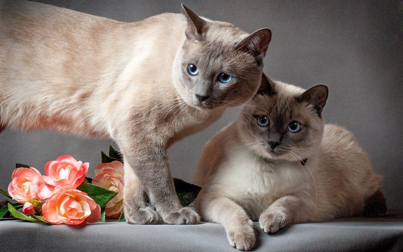 Изображение - К чему снятся кошки женщине много proxy?url=https%3A%2F%2Fattuale.ru%2Fwp-content%2Fuploads%2F2018%2F10%2FThai-cat-two-cats-flowers-gray-background_1440x900-800x500