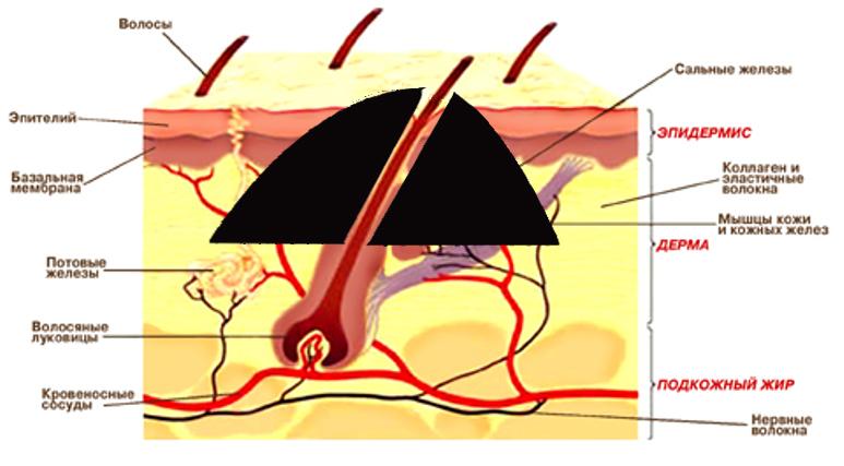 Изображение - Волосы на родинке proxy?url=https%3A%2F%2Fbeinusov.ru%2Fupload%2Fmedialibrary%2Fb8d%2Fstroenie-kozhi-i-volos-i-rodinok