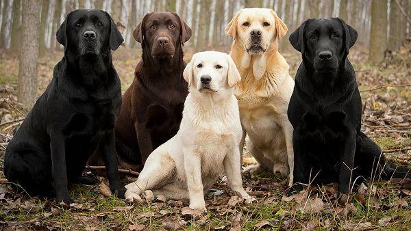 Изображение - Разведение собак как бизнес proxy?url=https%3A%2F%2Fbisnesideya.ru%2Fwp-content%2Fuploads%2F2018%2F04%2Flabs-min-1