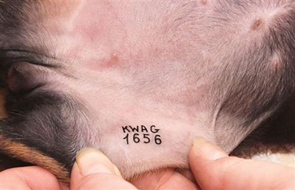 Изображение - Как и чем заклеймить щенка proxy?url=https%3A%2F%2Fdalmspb.com%2Fwp-content%2Fuploads%2Fkleim3