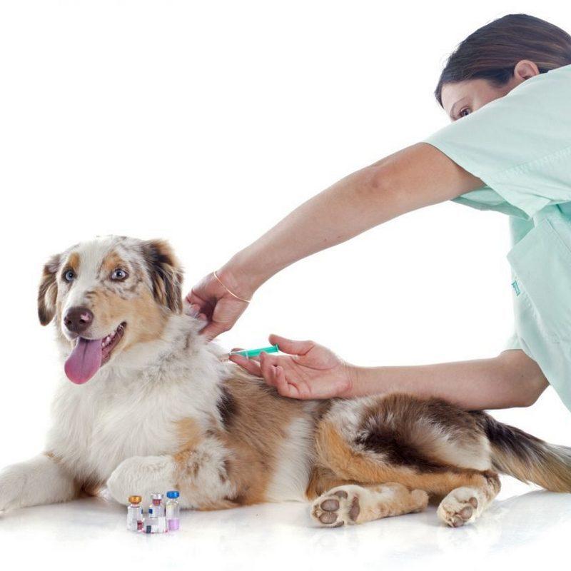 Изображение - Что такое микроспория у собак proxy?url=https%3A%2F%2Fdoggiedog.ru%2Fwp-content%2Fuploads%2F2017%2F10%2Fmikrosporiea-800x800