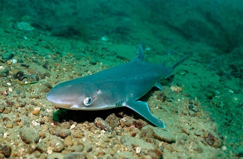 Колючая акула катран, фото черноморской акулы
