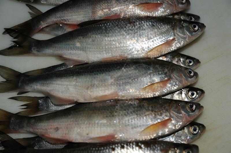 Изображение - Шамайка что это за рыба proxy?url=https%3A%2F%2Ffisherhook.ru%2Fwp-content%2Fuploads%2F2017%2F01%2Friba-shamaika5