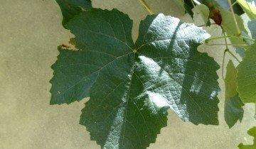 Изображение - Можно ли есть виноград изабелла proxy?url=https%3A%2F%2Fgrounde.ru%2Fwp-content%2Fuploads%2F2014%2F04%2F9-commons.wikimedia.or_-360x210