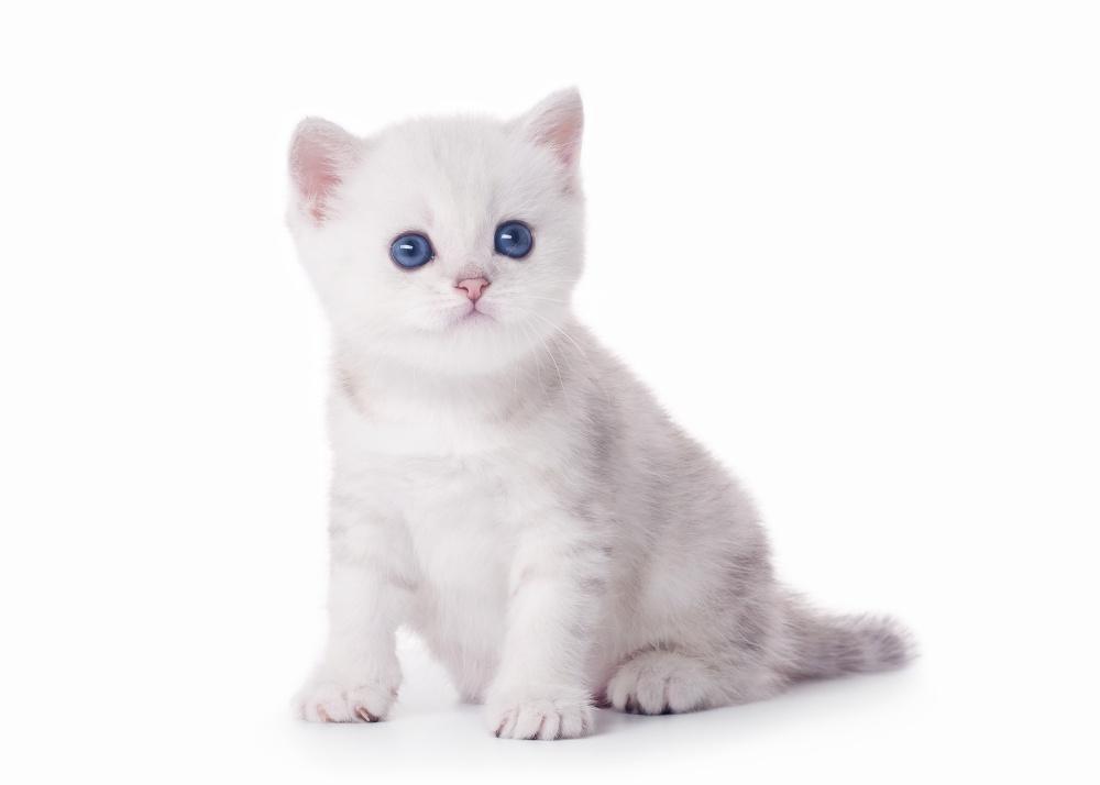 Изображение - Как правильно и своевременно распознать и вылечить асцит у кошек proxy?url=https%3A%2F%2Fkoshkamurka.ru%2Fwp-content%2Fuploads%2F2018%2F01%2Fkotenok