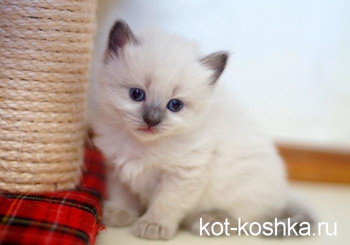 Изображение - Тайская кошка proxy?url=https%3A%2F%2Fkot-koshka.ru%2Fwp-content%2Fuploads%2F2018%2F11%2Ftajskaya-koshka
