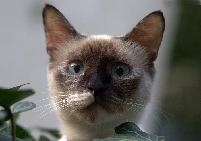 Изображение - Бирманские кошки proxy?url=https%3A%2F%2Fkot-koshka.ru%2Fwp-content%2Fuploads%2F2018%2F12%2Fbirmanskaya-koshka