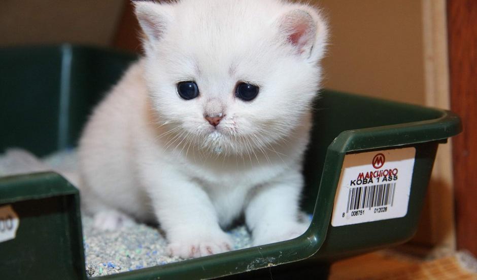 Изображение - Житейские проблемы кошек proxy?url=https%3A%2F%2Fkoteiki.com%2Fwp-content%2Fuploads%2F2018%2F08%2Fkoshachij-tualet-kak-pravilyno-vybraty-lotok-i-napolnitely