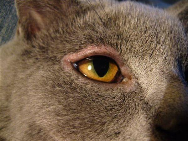 Изображение - Воспаление глаз у кошек proxy?url=https%3A%2F%2Fkoteiki.net%2Fwp-content%2Fuploads%2F2018%2F05%2F5f71f46ab2558370b263cccd38b26874