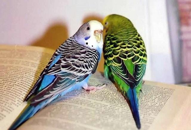 Изображение - Уроки речи для волнистых попугайчиков proxy?url=https%3A%2F%2Fkykarek.com%2Fwp-content%2Fuploads%2FObuchenie-volnistyh-popugaev