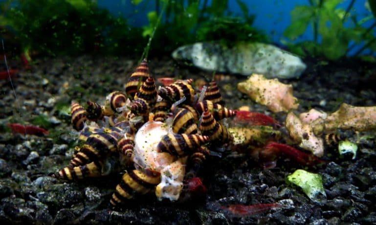 Изображение - Зачаровывающие обитатели аквариумов - улитки proxy?url=https%3A%2F%2Fkykarek.com%2Fwp-content%2Fuploads%2FUlitki-v-bolshom-kolichestve