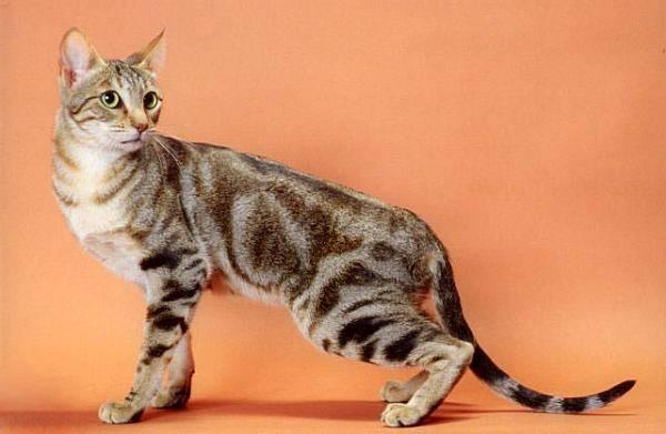 Изображение - Знакомимся с кошками с диковинным окрасом proxy?url=https%3A%2F%2Fkykarek.com%2Fwp-content%2Fuploads%2Fcb42bd3434bee11c5b188b5b1b4ee0a9