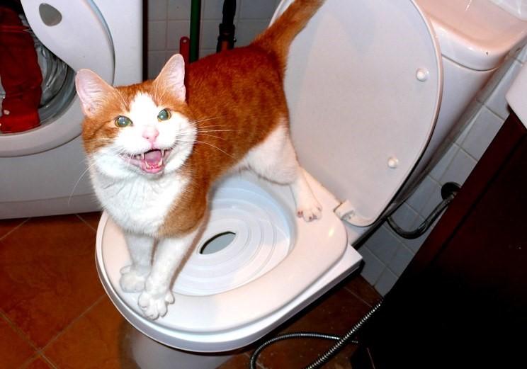 Изображение - Что делать, если кошка не может сходить в туалет proxy?url=https%3A%2F%2Flocalvet.ru%2Fsites%2Fdefault%2Ffiles%2Ffield%2Fimage%2F122-zapor-u-kota-1