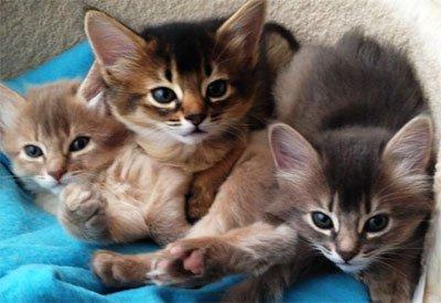 Изображение - Сомалийская кошка proxy?url=https%3A%2F%2Fmoja-koshka.ru%2Fimages%2Faimages%2Fporody%2Fsomali4