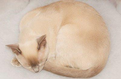 Изображение - Тонкинская кошка описание породы и характер животного, содержание и уход proxy?url=https%3A%2F%2Fmoja-koshka.ru%2Fimages%2Faimages%2Fporody%2Ftonkines4
