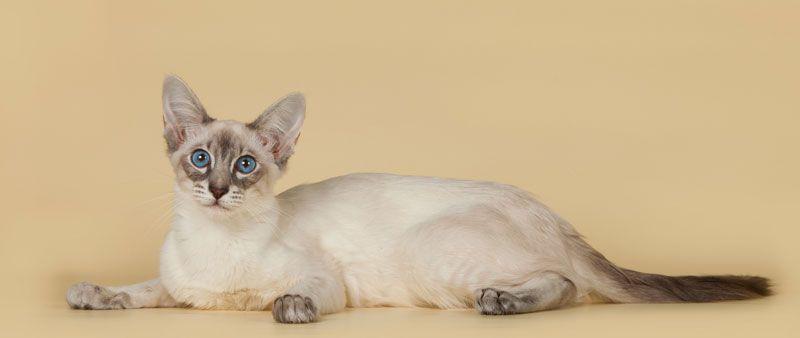 Изображение - Обзор пород кошек с большими ушами proxy?url=https%3A%2F%2Fmrkot.com%2Fwp-content%2Fuploads%2F2018%2F10%2Fbalinese