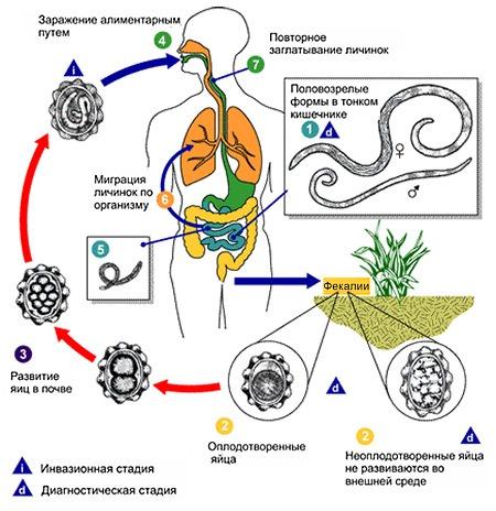 Изображение - Как выглядит нематода у питомцев proxy?url=https%3A%2F%2Fnoparasites.ru%2Fwp-content%2Fuploads%2F2018%2F02%2Fascariasis-life-cycle-01dd