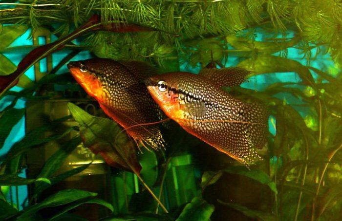 Изображение - Аквариумная рыбка гурами размножение и описание вида, фото proxy?url=https%3A%2F%2Fo-prirode.ru%2Fwp-content%2Fuploads%2F2017%2F07%2Frazmnozhenie-gurami-e1500641693713