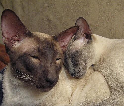 Изображение - Фото королевской кошки петерболд proxy?url=https%3A%2F%2Fokotikah.ru%2Fwp-content%2Fuploads%2F2017%2F03%2Fxarakter111