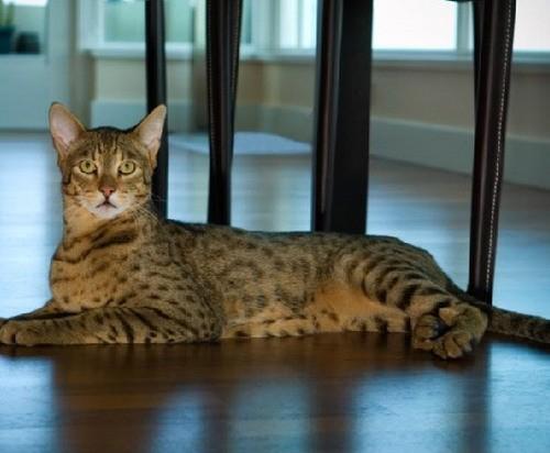 Изображение - Фото и видео описание кошек породы ашера proxy?url=https%3A%2F%2Fokotikah.ru%2Fwp-content%2Fuploads%2F2017%2F04%2Ffoto-poroda44