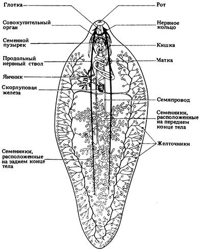 Изображение - Чем опасны трематоды для человека proxy?url=https%3A%2F%2Fparazits.ru%2Fwp-content%2Fuploads%2F2018%2F06%2Fstroen_tr