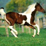 Изображение - Пегие и чалые лошадки - какого они цвета proxy?url=https%3A%2F%2Fpro-selhoz.ru%2Fwp-content%2Fuploads%2F2017%2F09%2Fpegie_koni_9_14082419-150x150
