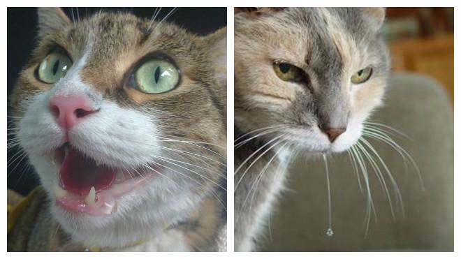 Изображение - Каковы причины того что у кота текут слюни proxy?url=https%3A%2F%2Fprokoshku.ru%2Fwp-content%2Fuploads%2F2017%2F04%2Fsjyni-y-kotov