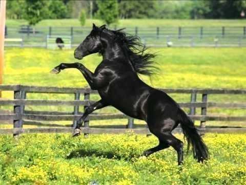 Изображение - Вороная лошадь все о красивой масти proxy?url=https%3A%2F%2Fselomoe.ru%2Fwp-content%2Fuploads%2F2016%2F02%2Fklassicheskiy-voronoy-kon