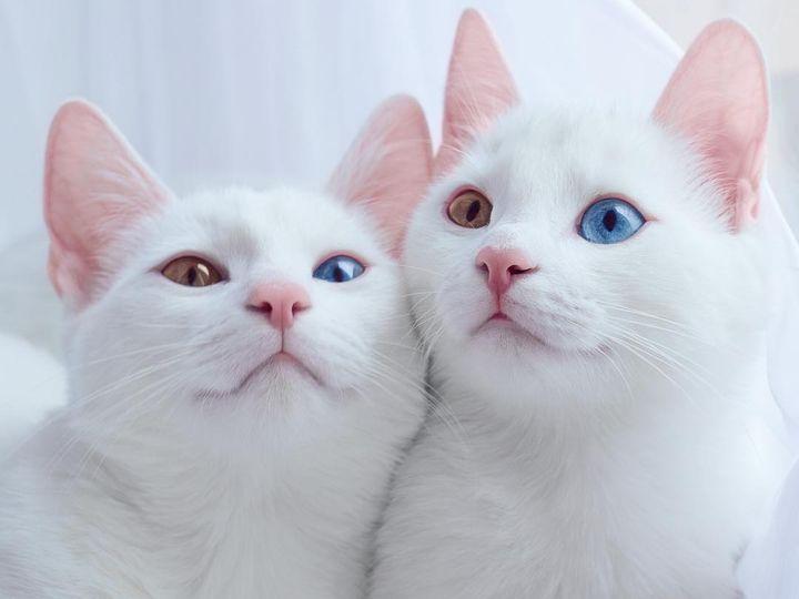 Изображение - Топ-8 видов кошек с разными глазами proxy?url=https%3A%2F%2Fusatiki.ru%2Fwp-content%2Fuploads%2F2017%2F10%2Fkoshki-i-koty-s-raznymi-glazami-poroda-10