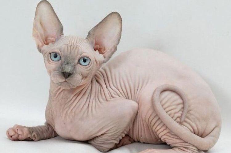 Изображение - 24 породы кошек, которые не линяют proxy?url=https%3A%2F%2Fusatiki.ru%2Fwp-content%2Fuploads%2F2018%2F05%2Fkakie-porody-koshek-ne-linyayut-4